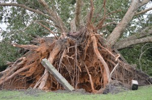 """""""Old Gal,"""" lies on her side after Hurricane Matthew uprooted the nearly 300-year-old pecan tree in October 2016. Note the railroad tie at center left, leaning on the roots."""